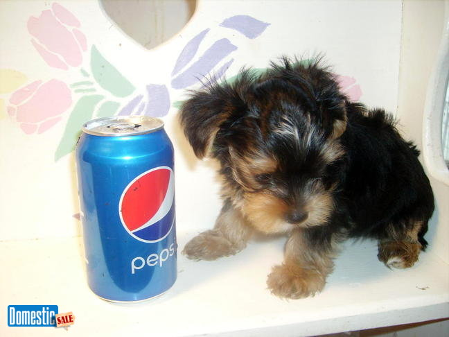 Adorable Yorkie Teacup Puppies Free Stuff Ads Nris